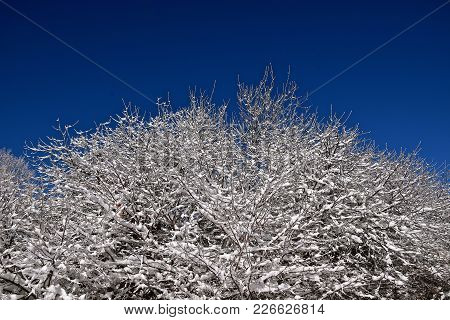 A Tree Is Covered With Snow And A Hoar Frost On A Wintry Cold Morning With A Background Of A Clear B