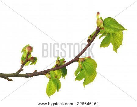 Linden In Herbal Medicine. Linden Flowers And Linden Tree In Spring. Blooming Linden Tree. Isolated