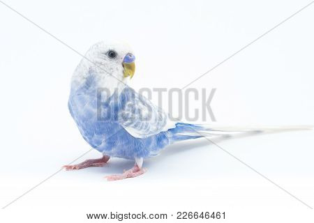 White-blue Wavy Parrot Isolated On White Background For Any Purpose