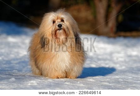 Beautiful Show Champion Havanese Female Dog Stands In A Snowy Park