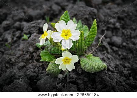 A Flower Of The Primrose, A Fine Spring Day, A Pleasant Aroma