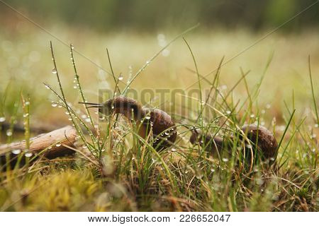Two Escargots Sitting In The Wet Grass For Any Purpose