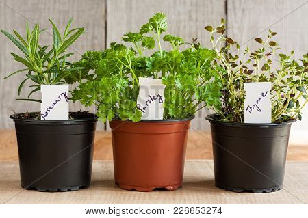 Fresh Herbs (rosemary, Parsley And Thyme) In Pots On A Wooden Table