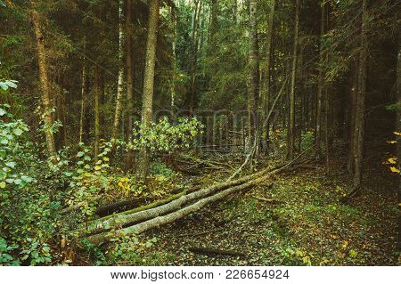 Wild Autumn Forest. Fallen Trees In Green Coniferous Forest Reserve