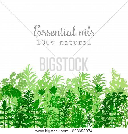 Popular Essential Oil Plants Label Set In Green Color Peppermint, Lavender, Sage, Melissa, Rose, Ger