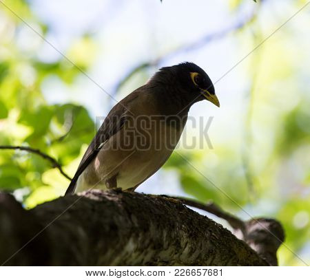 Indian Starling On Nature . In The Park In Nature