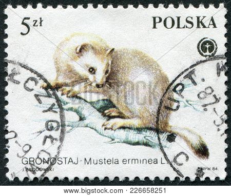 Poland - Circa 1984: A Stamp Printed In The Polish, Is Depicted Animal Fur Ermine (mustela Erminea),
