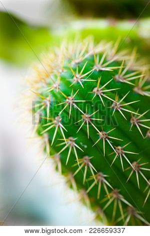 A Green Cactus With Thorns. A Unfocused Background.