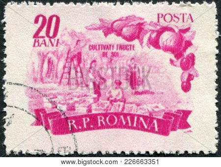 Romania - Circa 1955: A Stamp Printed In The Romania, Shows The Harvesting Of Fruit, Circa 1955