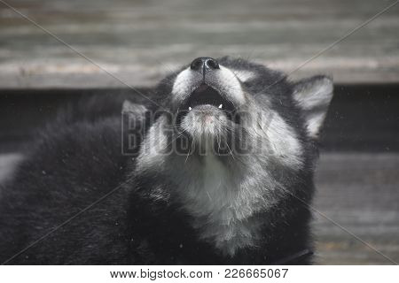 Wolf Doggy Howling To The Sky With Its Head Up