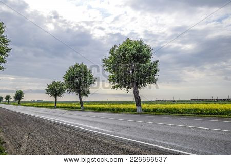 Asphalt Road With Trees On The Roadside. Field Of Blossoming Rape On The Side Of The Road. Field Of