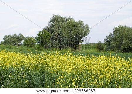Field Of Rape Near The Road. A Tree Near The Road. Rapeseed Field. Yellow Rape Flowers, Field Landsc