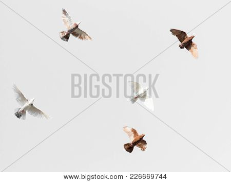 Flock Of Pigeons On A Gray Background .