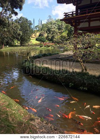 Koi Stream At Byodo-in Temple, Oahu, Hawaii
