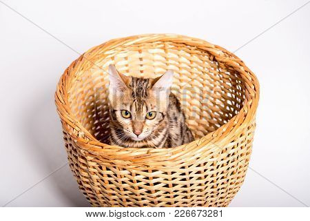 Purebred Bengal Kitten In The Basket. Isolated On White Background