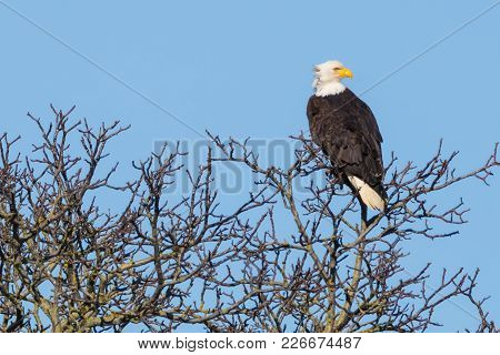 Eagle In Bare Tree Branches On The Nooksack River In Washington State
