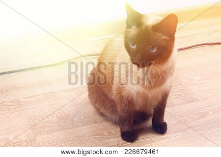 A Siamese Or Thai Cat Sits On The Floor. The Cat Is Disabled. Three Paws, No Limb