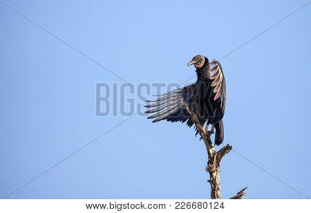 American Black Vulture Coragyps Atratus