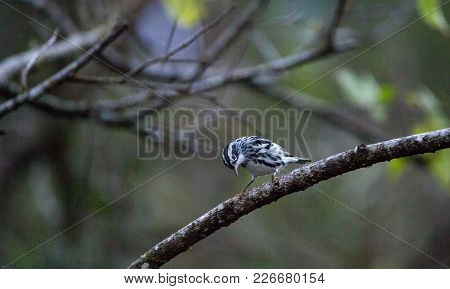 Black and white warbler Mniotilta varia perched on a branch in the Corkscrew Swamp Sanctuary of Naples, Florida poster