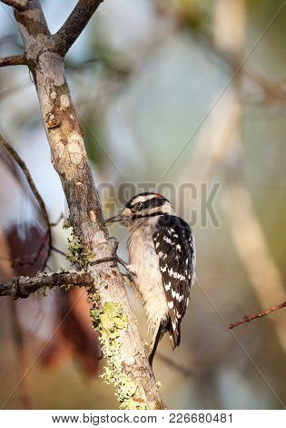 Downy Woodpecker Picoides Pubescens Perches On A Tree