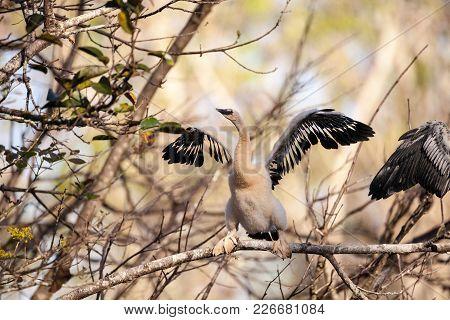Juvenile Anhinga Bird Called Anhinga Anhinga