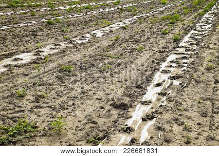 Watering System On The Field Of Watermelons And Melons. Shoots Of Melons And Watermelons. Sown Melon