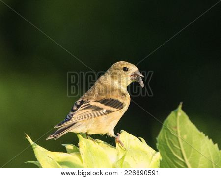 Female Goldfinch Eating A Seed On Sunflower
