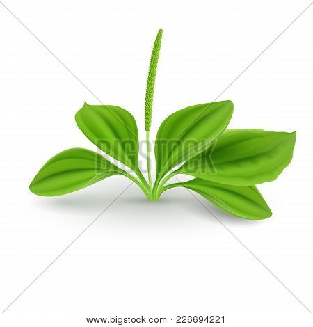 Fresh Green Leaves Of Plantain (plantago Major Or Soldiers Herb) Natural Herb Cosmetic Plant On Whit