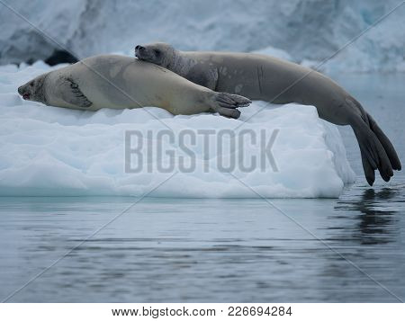 Close Up Of A Pair Of Crabeater Seals Resting On An Iceberg In The Southern Ocean In Antarctica. Bot