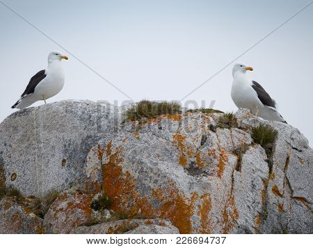 A Pair Of Kelp Gulls Standing On Top Of A Light And Medium Gray Stone Formation. Orange Or Rust Colo