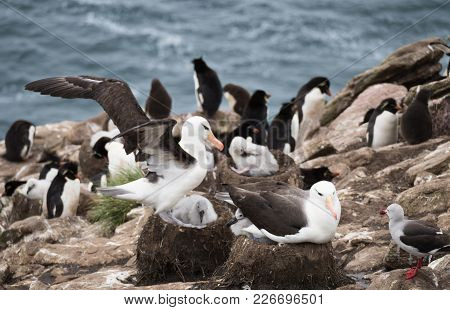 Black Browed Albatross Adults And Chicks In The Nests With A Dolphin Gull Looking On. Rockhopper Pen