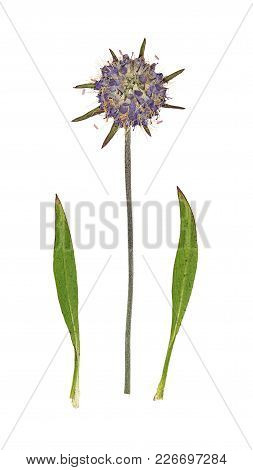 Pressed And Dried Flowers Scabious Or Succisa Pratensis Isolated On White Background. For Use In Scr