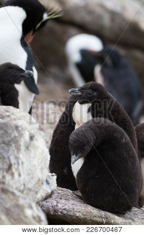 A Pair Of Downy Rockhopper Penguin Chicks Standing On The Rocks With Adult And Another Rockhopper Ch