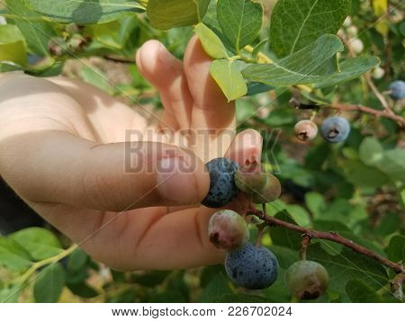 A Day Spent Picking Blueberries On A Farm.
