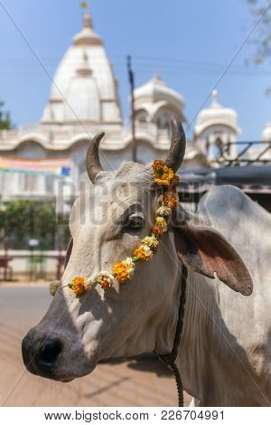 Portrait of a cow with Sri Krishna-Balaram Temple on backround. Cow is a sacred animal in hinduism.