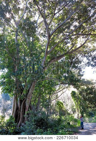A Huge Magnolia In The Park Mon Repos And Forest Of Palaiopolis On Corfu