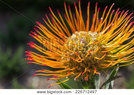 Spectacular Sun Lit Close-up Of A Leucospermum Flower- Also Known As Limestone Pincushion- A Native