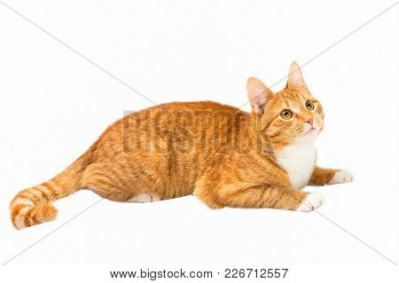 The Red Growing-up Kitten Plays With Expressive Eyes On A White Background. Small Predator