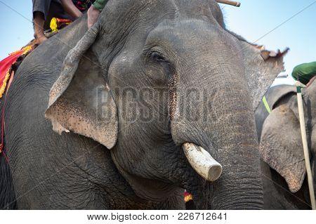 Elephant Close Up Ivory And Head. Asia Elephant