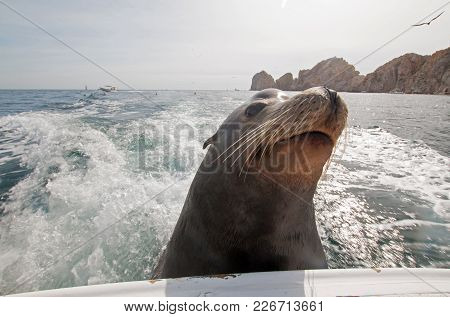 Sea Lion On The Back Of Charter Fishing Boat Begging For Bait Fish In Cabo San Lucas Baja Mexico Bcs