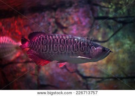 Asian Red Arowana Swimming In Tank. Ornamental Fish.