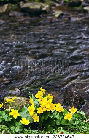 Small, yellow spring flowers in the mountains. Vesennik or Eranthis hyemalis near  the river. The first spring flowers,  early spring flowers in bloom, winter aconite, group of flowering plants poster