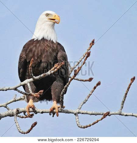 majestic adult bald eagle sitting in a tree along a river during winter mating season