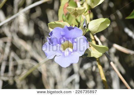 Light Blue Petals On A Pretty Morning Glory Flower