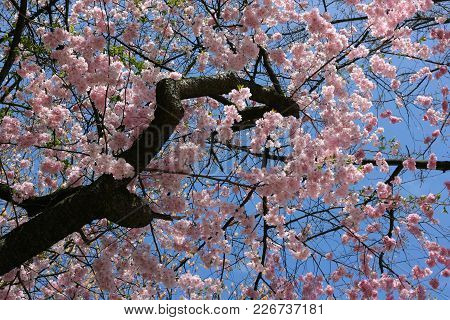 Blooming Sakura Or Cherry. Blooming Tree On A Sunny Spring Day.