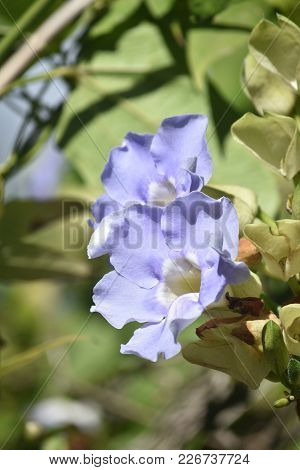 Pretty Blue Morning Glory Flower In Bloom