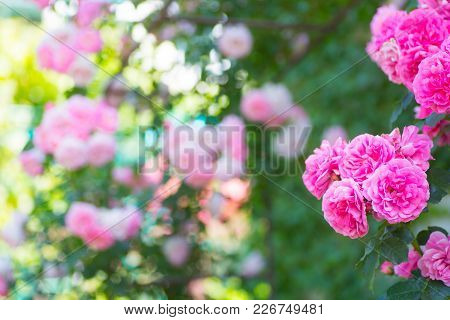 Beautiful Pink Tea Rose Flowers On The Arch At Sunny Day In Garden