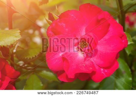 Rose Flower, Closeup. Summer Flower Of Red Rose Blooming In The Summer Garden. Summer Flower Backgro