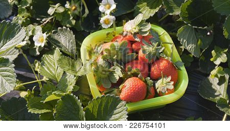 Strawberry harvest in the field