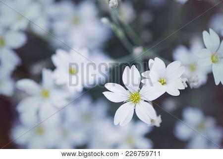 Close-up Beautiful White Gypsophila Flowers On Daylight Blurred Background